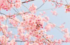 隅田公園桜まつり♡東京都渋谷・原宿・表参道に出張マッサージで至福のひとときを…