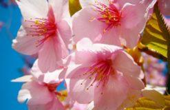 桜(阿守)