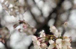 春、見つけました(田口)