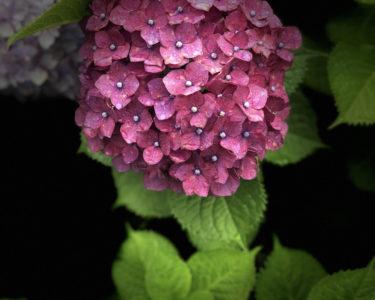 紫陽花(田口)