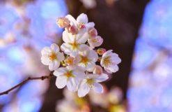春です。お花見です。淡路島です。(上井)