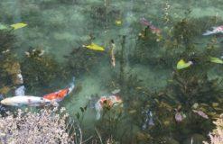 まるで絵画の世界!モネの池に行ってきました(金子)