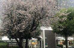 一足先に桜が咲いていました!!【石川】
