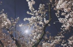 桜のトンネル(小山)