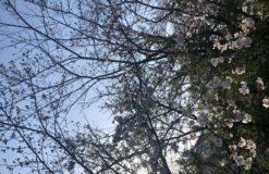 家の前の桜が5-6分咲き^^