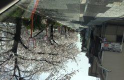 桜ももう終わりですね。。。【白石】