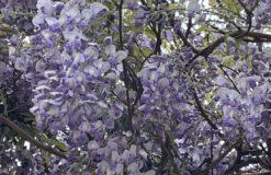 桜の後に咲き始める藤の花