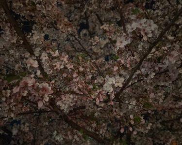 夜桜(阿守)
