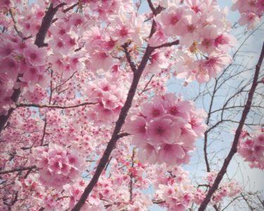 お花見散歩(*´꒳`*)【木下】