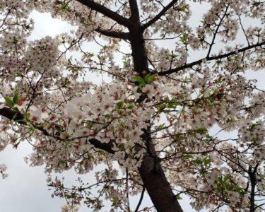 花見してきました【赤嶺】
