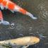 大阪本町にいる鯉たち